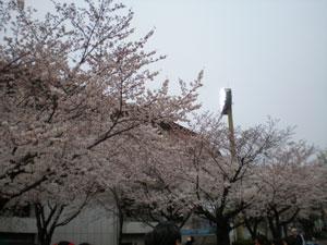 20090404sakura