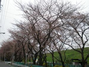 20100328sakura1