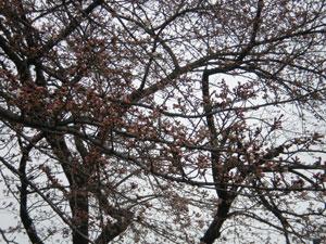 20100328sakura2