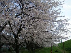 20100410sakura2